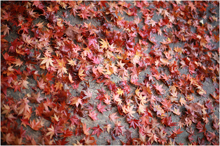 Fallen Leaves from a Red Japanese Maple